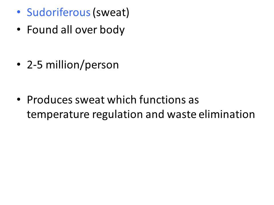 Sudoriferous (sweat) Found all over body. 2-5 million/person.
