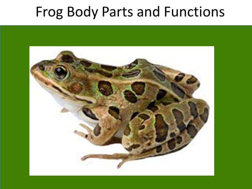 .internal parts of frog youtube
