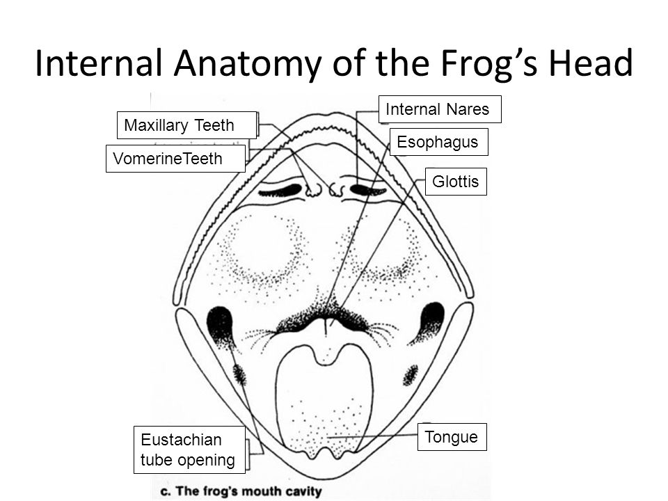 Parts Of A Frog S Mouth 17