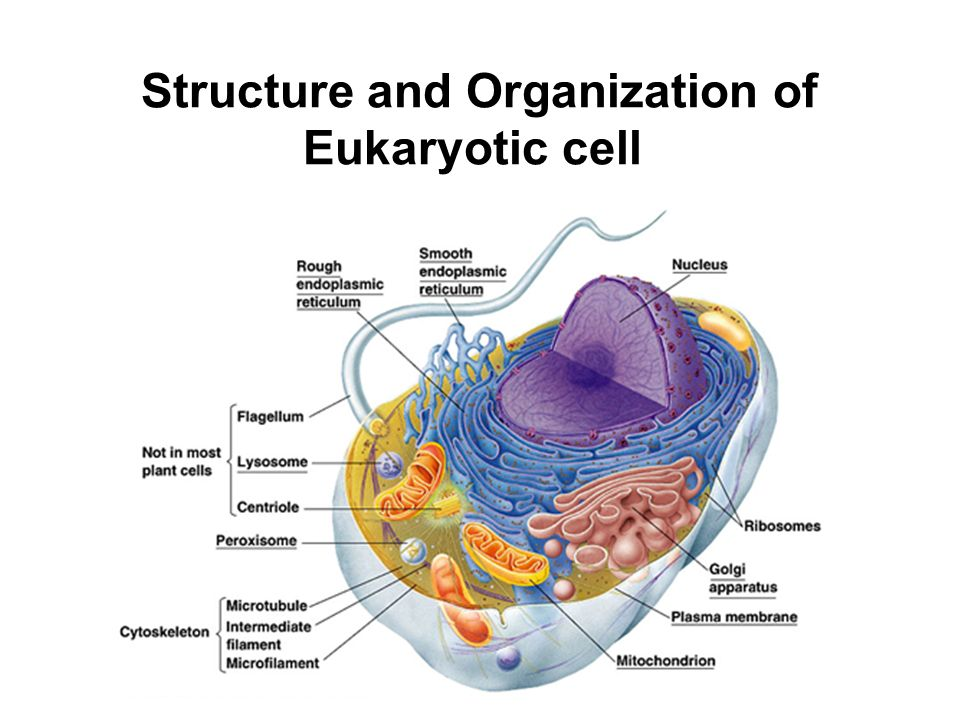 Structure and Organization of Eukaryotic cell - ppt video ...