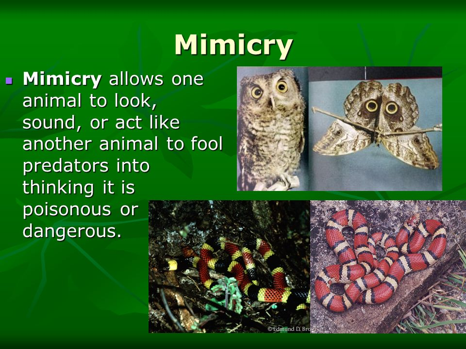 Mimicry Mimicry allows one animal to look, sound, or act like another animal to fool predators into thinking it is poisonous or dangerous.
