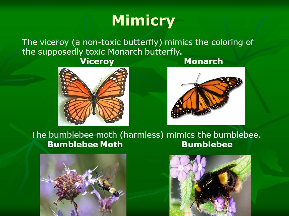 The bumblebee moth (harmless) mimics the bumblebee.