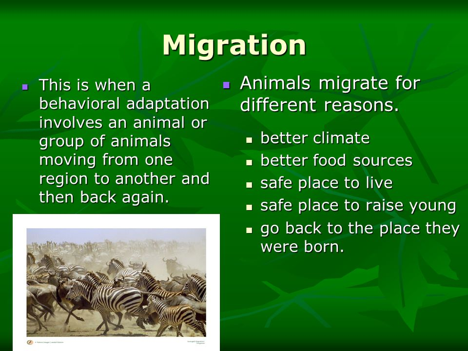 Migration Animals migrate for different reasons.
