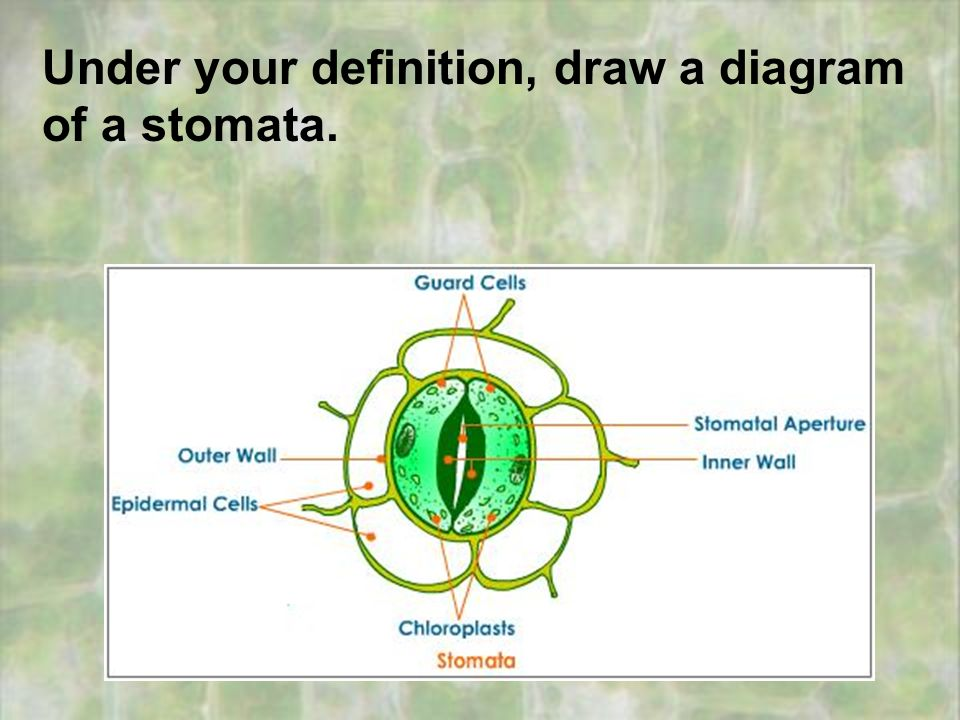 stomata lab report Measuring stomatal density stomata control the movement of gases in and out of a leaf, making carbon dioxide available for photosynthesis, and controlling the loss of .