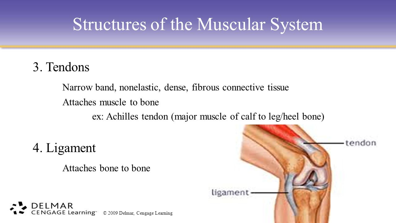 major bones and the muscles attached
