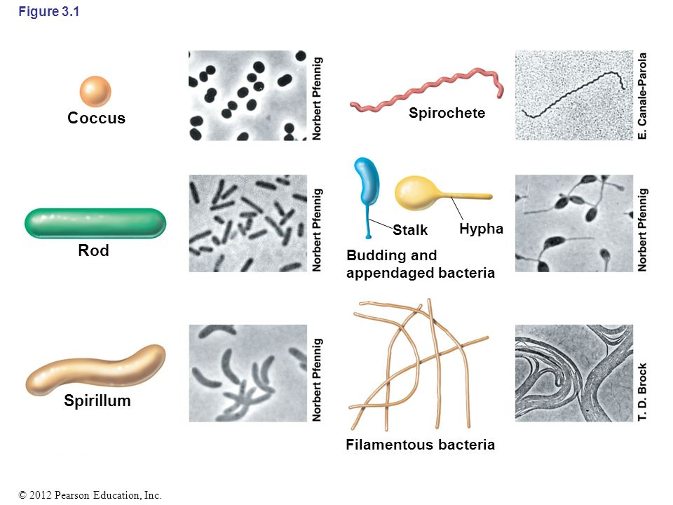 coccus bacteria diagram - photo #29