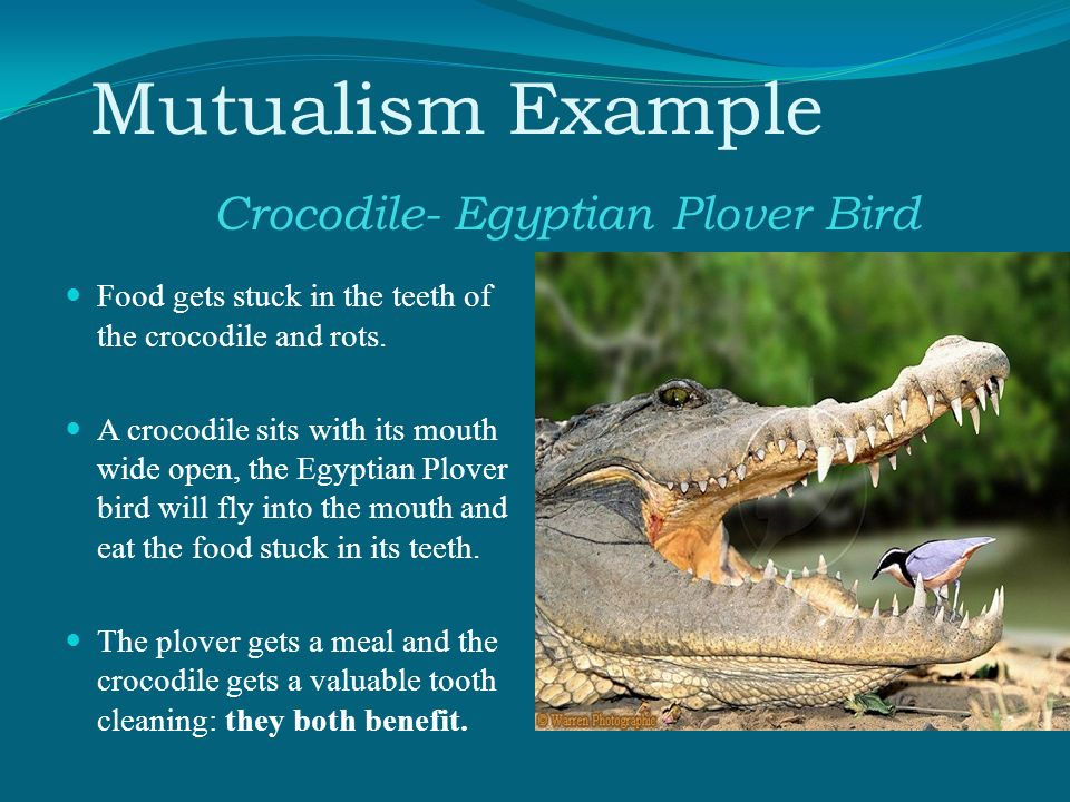 egyptian plover and crocodile relationship advice