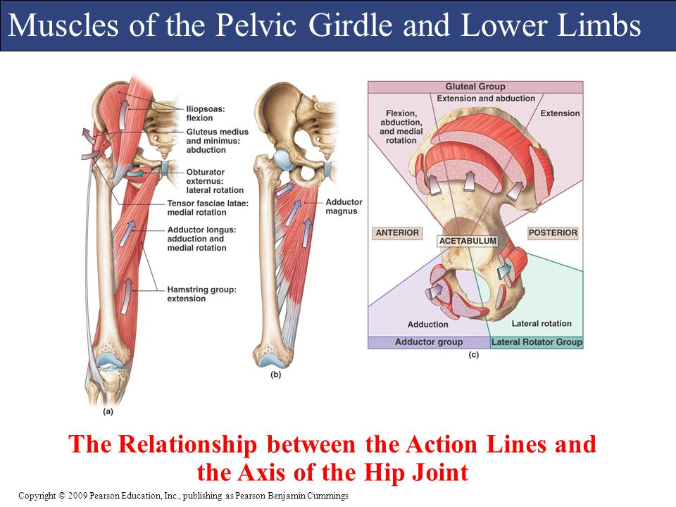 Magnificent Anatomy Of Pelvic Girdle Inspiration Anatomy And