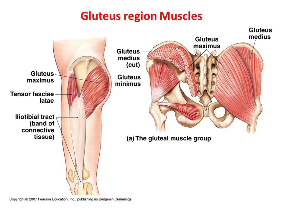 Anatomy Of Gluteal Muscles Choice Image - human body anatomy