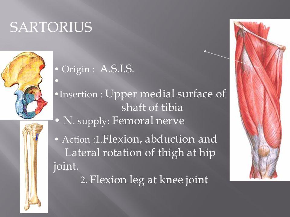 lower limb. lower limb quadriceps femoris rectus femoris, Muscles