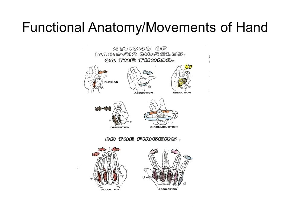 Modern Functional Anatomy Of Hand Ideas - Human Anatomy Images ...