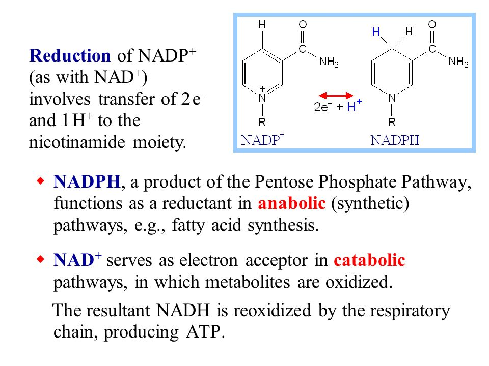 Reduction Of Nadp B As With Nad B Involves Transfer Of E And H B To The Nicotinamide Moiety