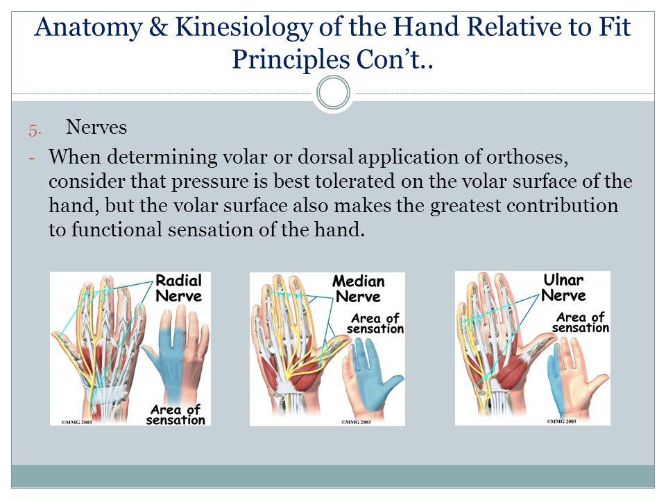 Dorable Volar Hand Anatomy Photo - Human Anatomy Images ...