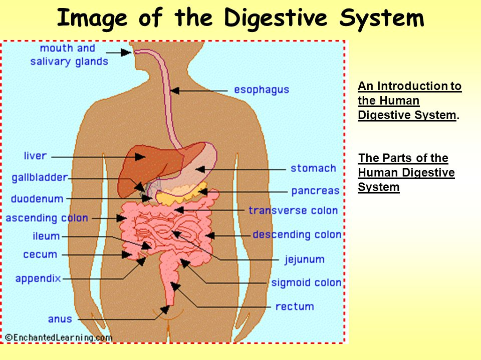 parts of the digestive system The squeezing motion of the muscles is called peristalsis and it occurs throughout the digestive system a slimy mucus is also oozed from the oesophagus to help the food on its way a slimy mucus is also oozed from the oesophagus to help the food on its way.