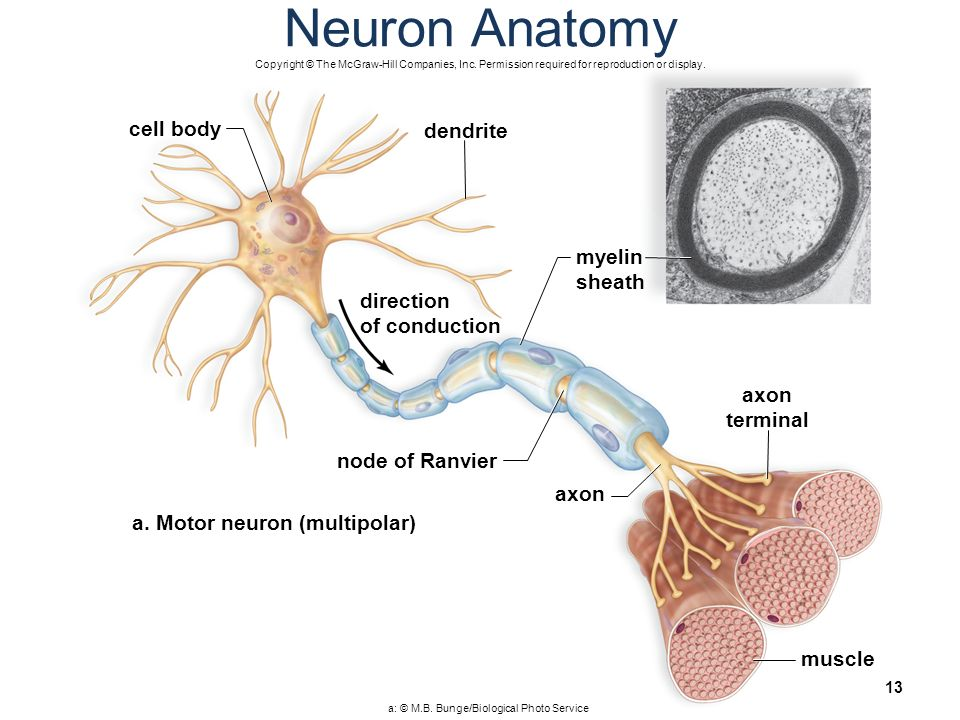 neuron cell body from - photo #16