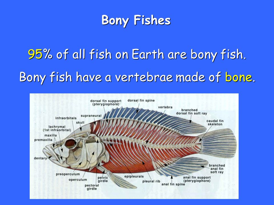 95 of all fish on earth are bony fish ppt video online for Do all fish have gills
