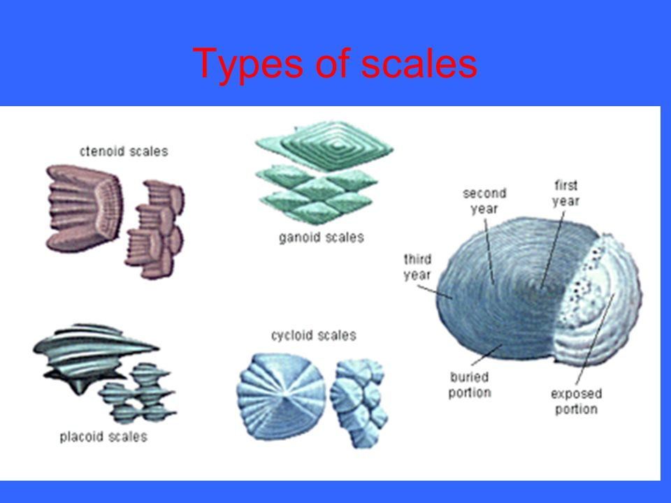 Diagram of different types of scales in fishes choice for Types of bony fish