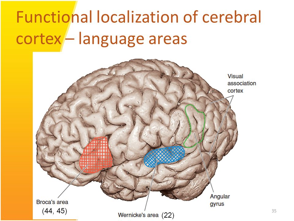 Communication cerebral cortex and human language College paper Help ...