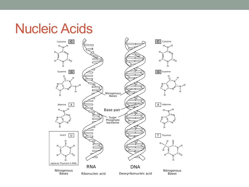 Which Organic Molecule Is The Building Block Of Nucleic Acids