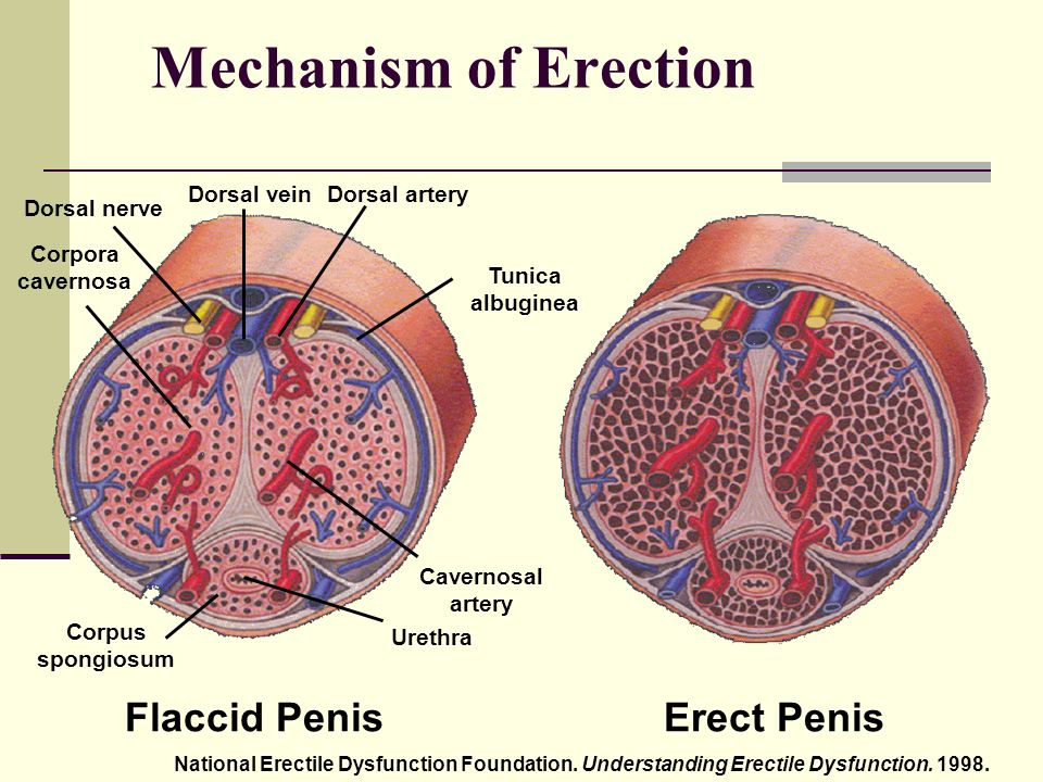 Flacid And Erect Penis 10