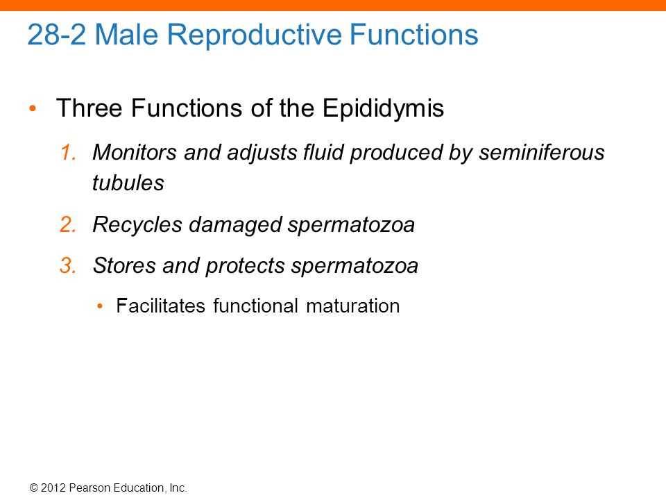 28 the reproductive system. - ppt download, Cephalic Vein
