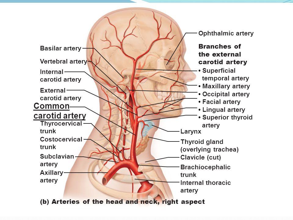 Branches Of External Carotid Artery External Carotid Artery Lateral