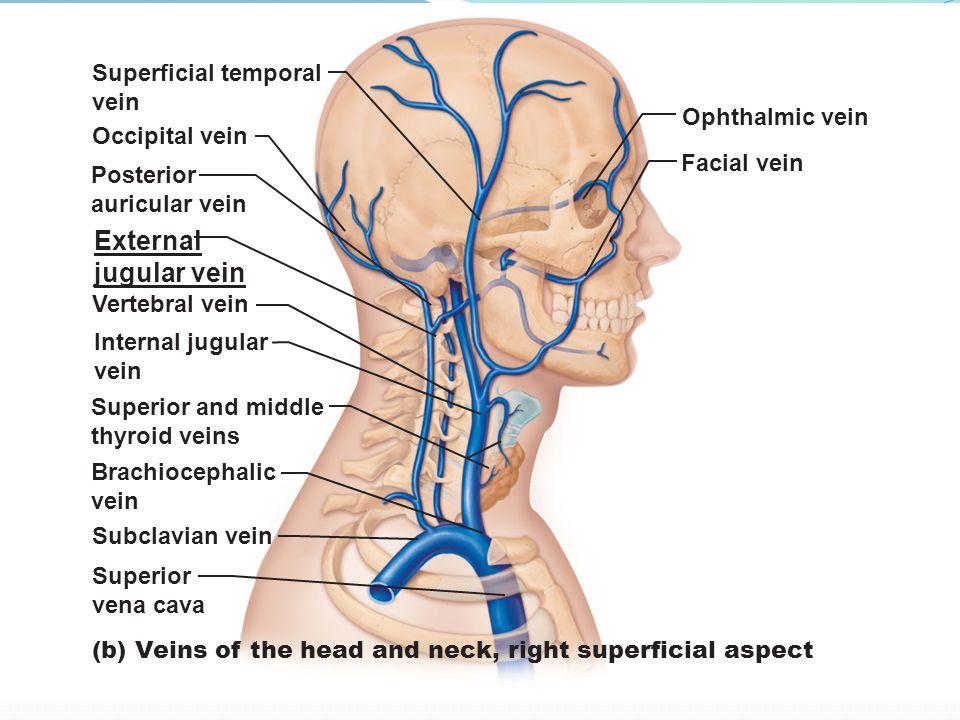 Anatomy Of Internal Jugular Vein Images Human Body Anatomy