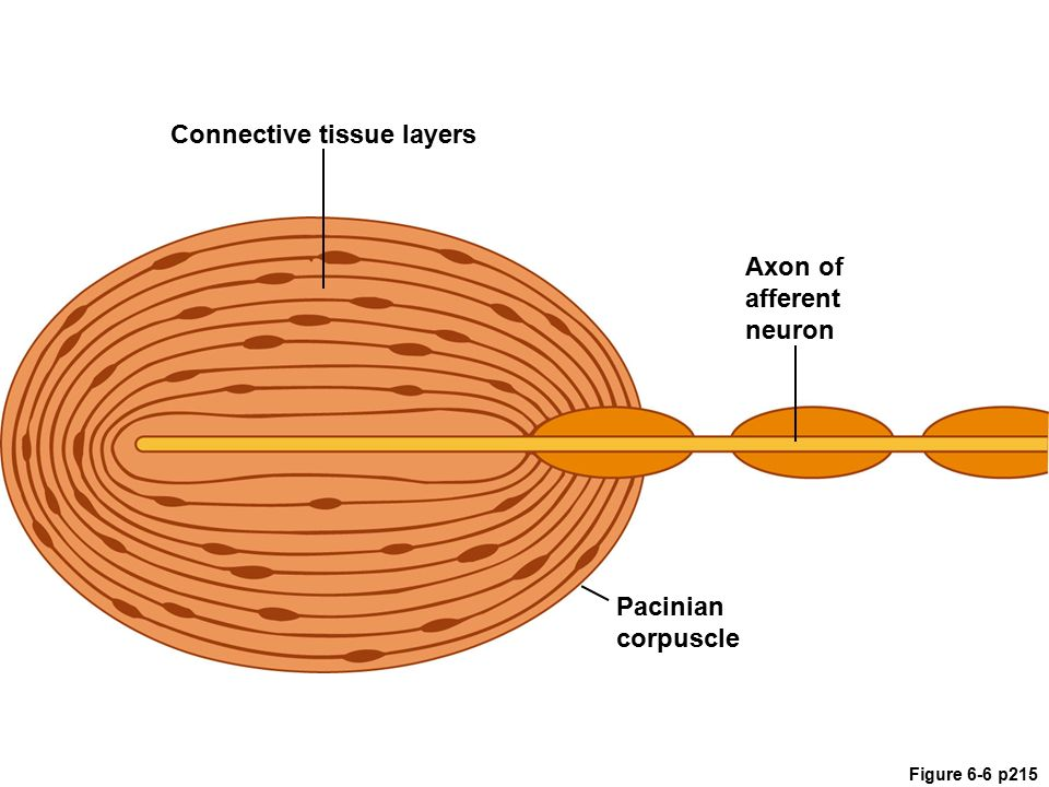 pacinian corpuscle diagram chapter 6 sensory physiology sections - ppt download