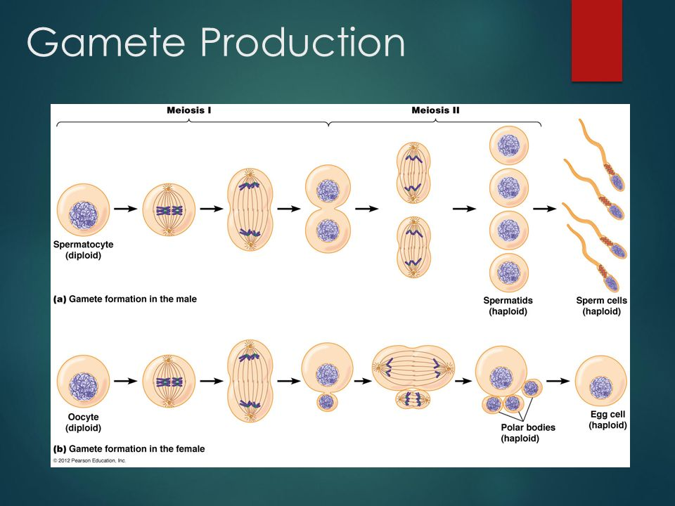 production of gametes info Gamete a specialized haploid (see haploid number) cell (sometimes called a sex cell) whose nucleus and often cytoplasm fuses with that of another gamete (from the opposite sex or mating type) in the process of fertilization, thus forming a diploid zygote in some animals (eg mammals) the gametes are differentiated: the male is a motile sperm .