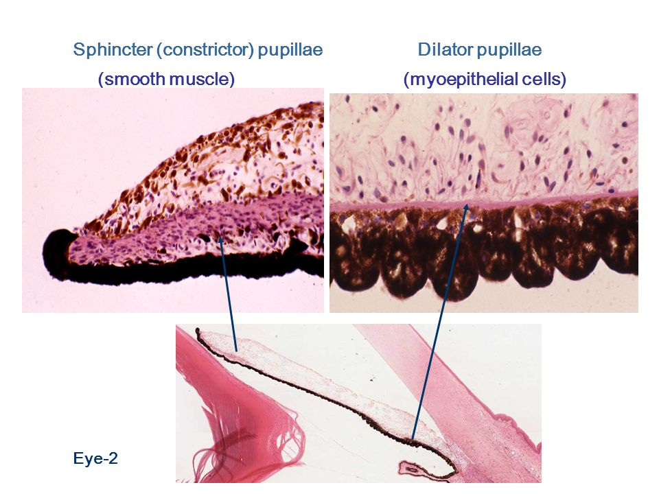 Eye and Ear Histology ...