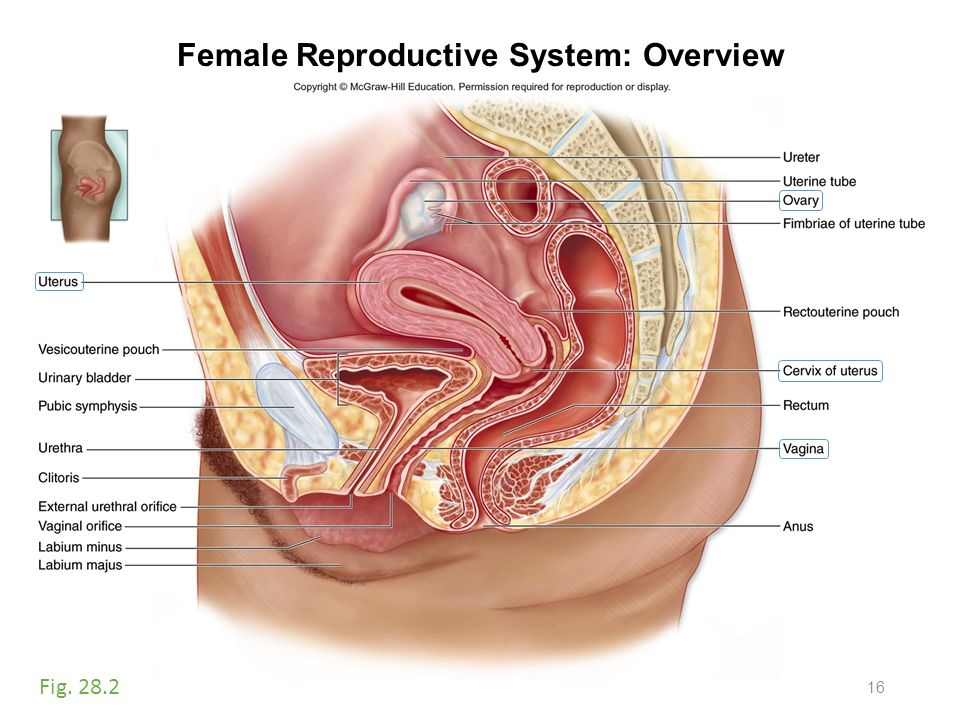 Pictures Of Female Excretory System Rock Cafe