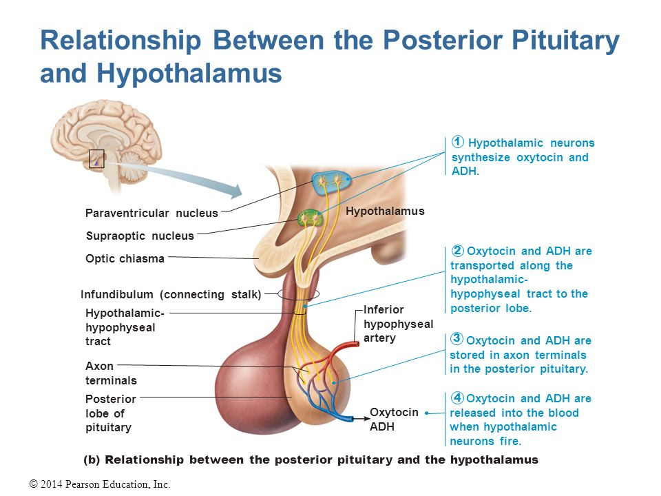 hypothalamus and pituitary glands relationship quizzes