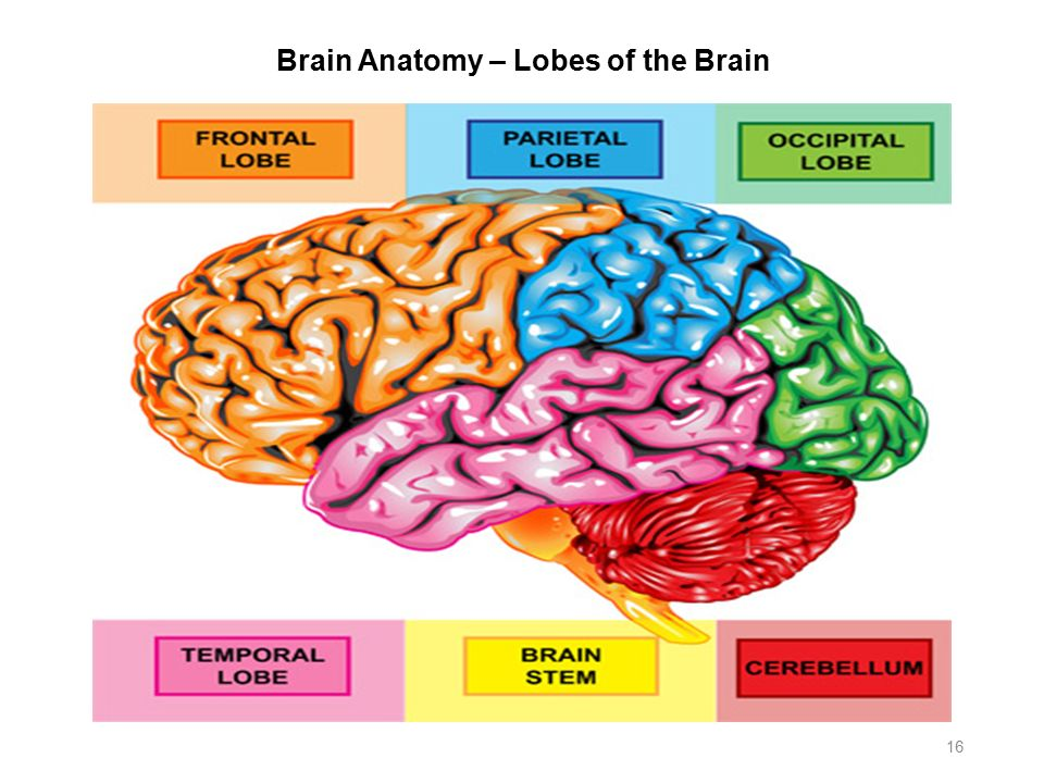 Pictures of brain anatomy