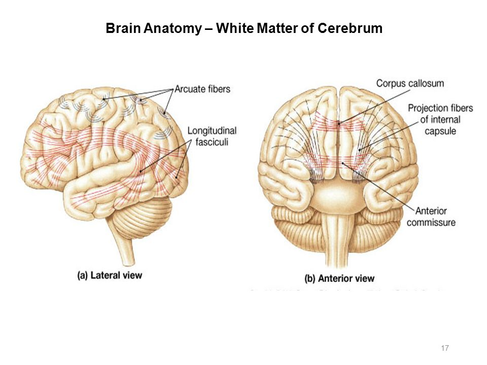 Famous Cerebral Hemispheres Anatomy Inspiration - Anatomy Ideas ...