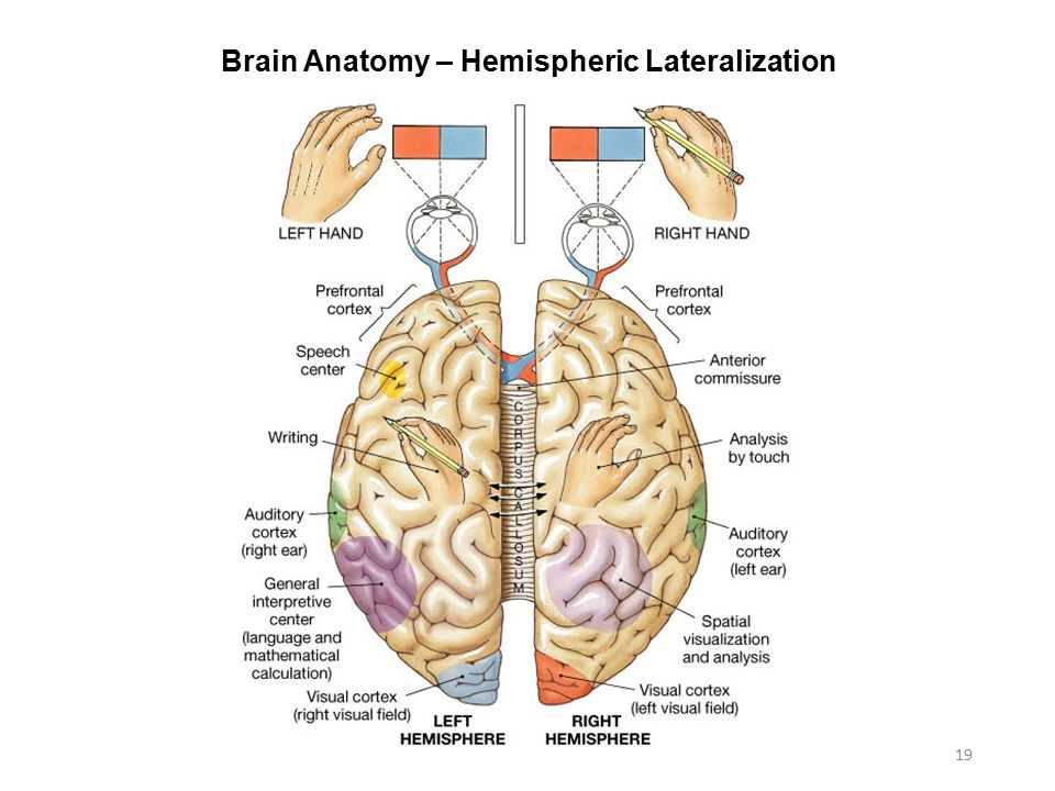 Cerebral Lateralization and Functionality