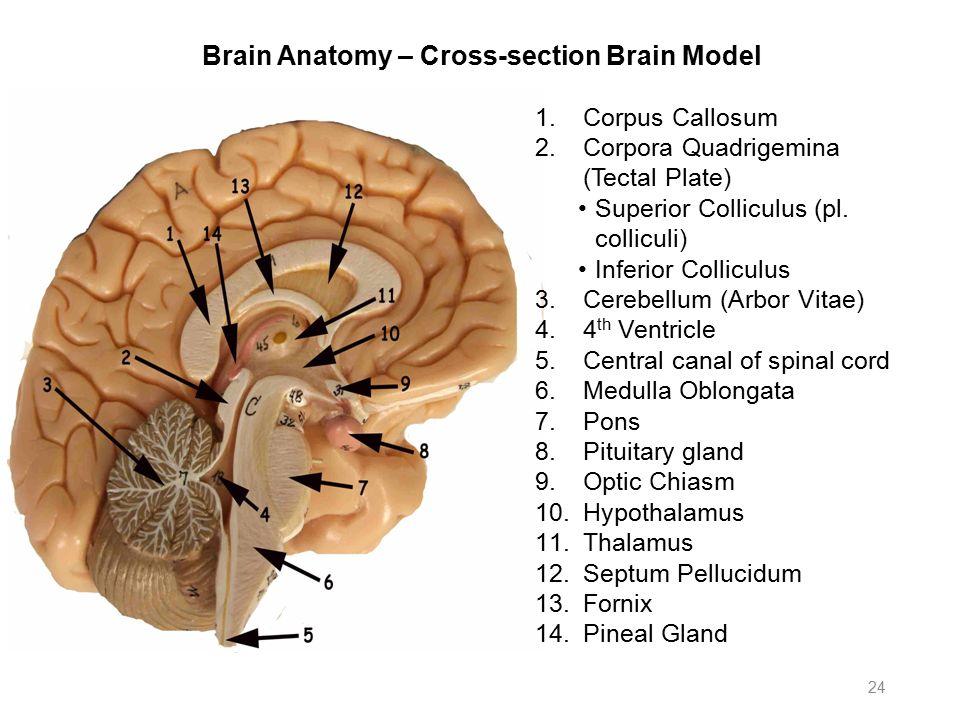 Anatomy brain model