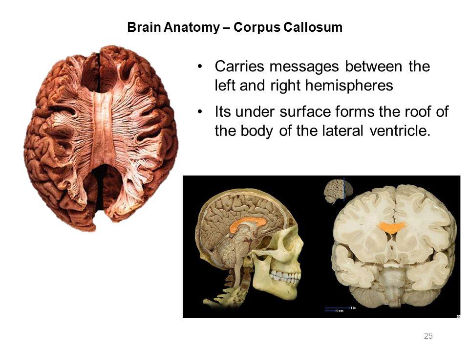 Brain anatomy corpus callosum