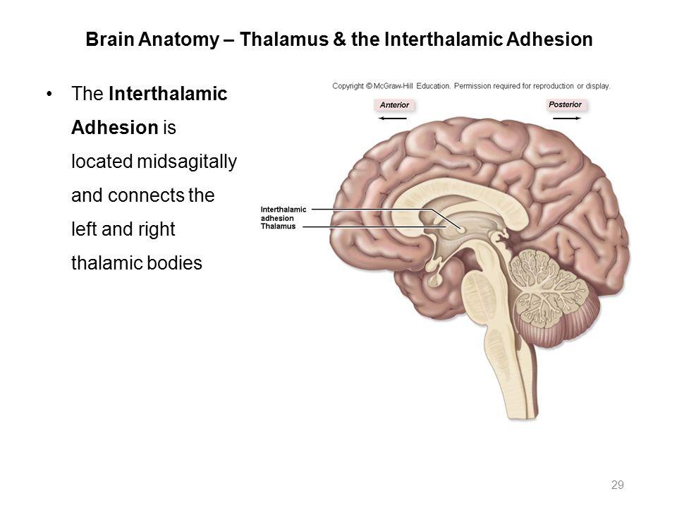 Brain anatomy thalamus