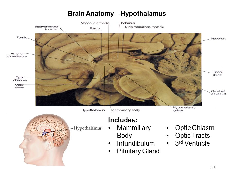 Colorful Brain Anatomy Hypothalamus Vignette Human Anatomy Images