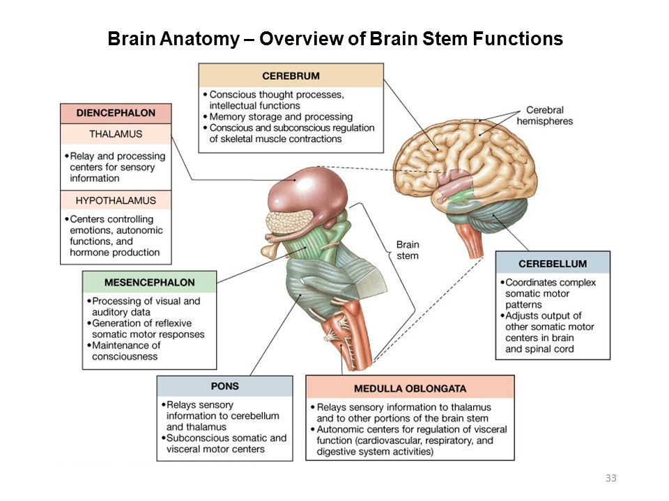 parts of the brain and functions pdf
