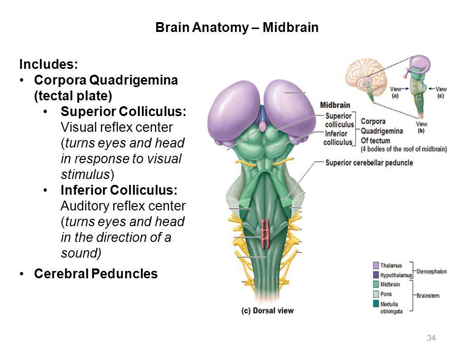 Anatomy of midbrain