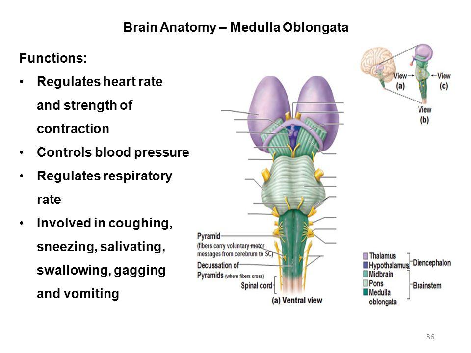 functie medulla oblongata
