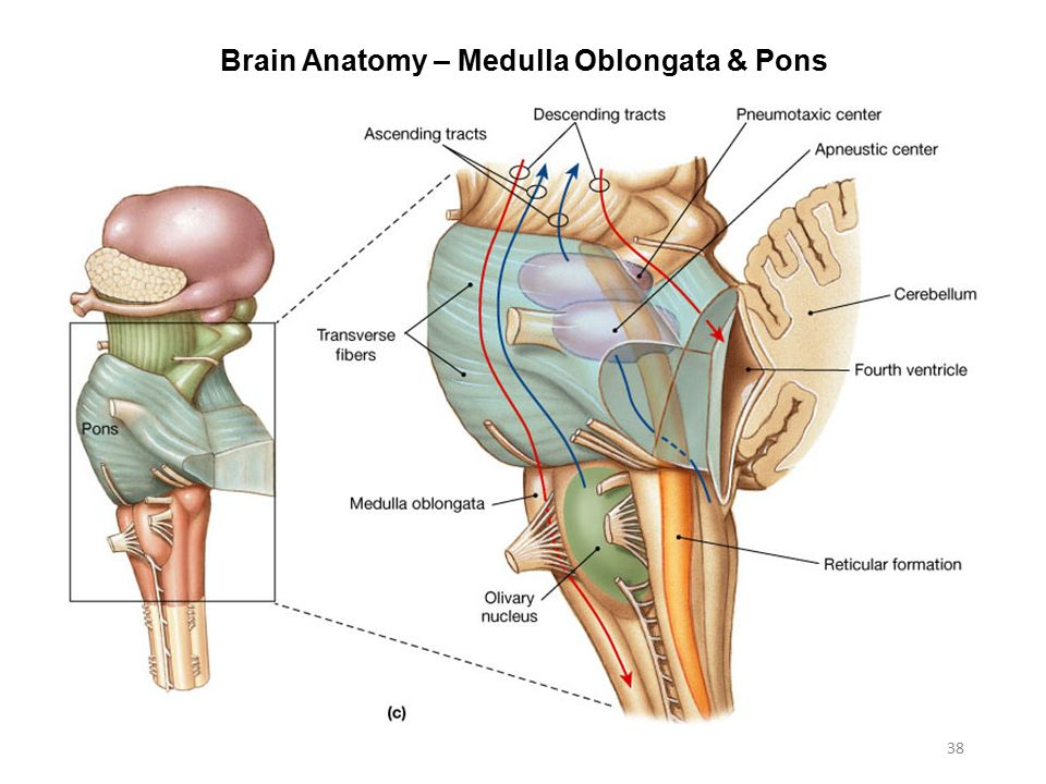 Anatomy of medulla oblongata 9049476 - follow4more.info