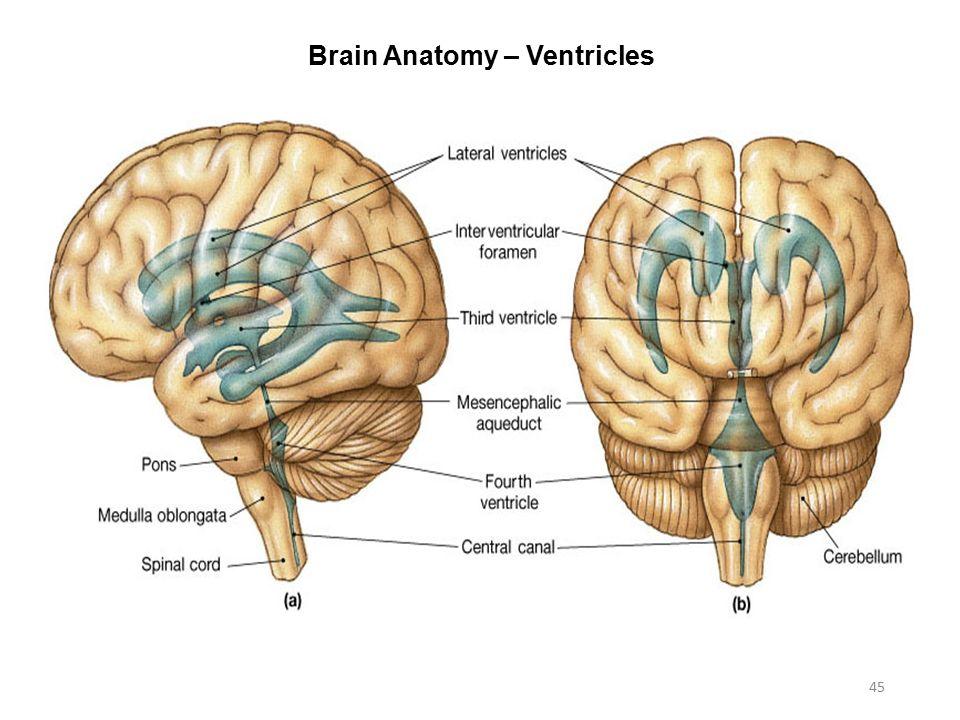 Activity 7 Nervous System Histology Brain Cranial Nerves Ppt