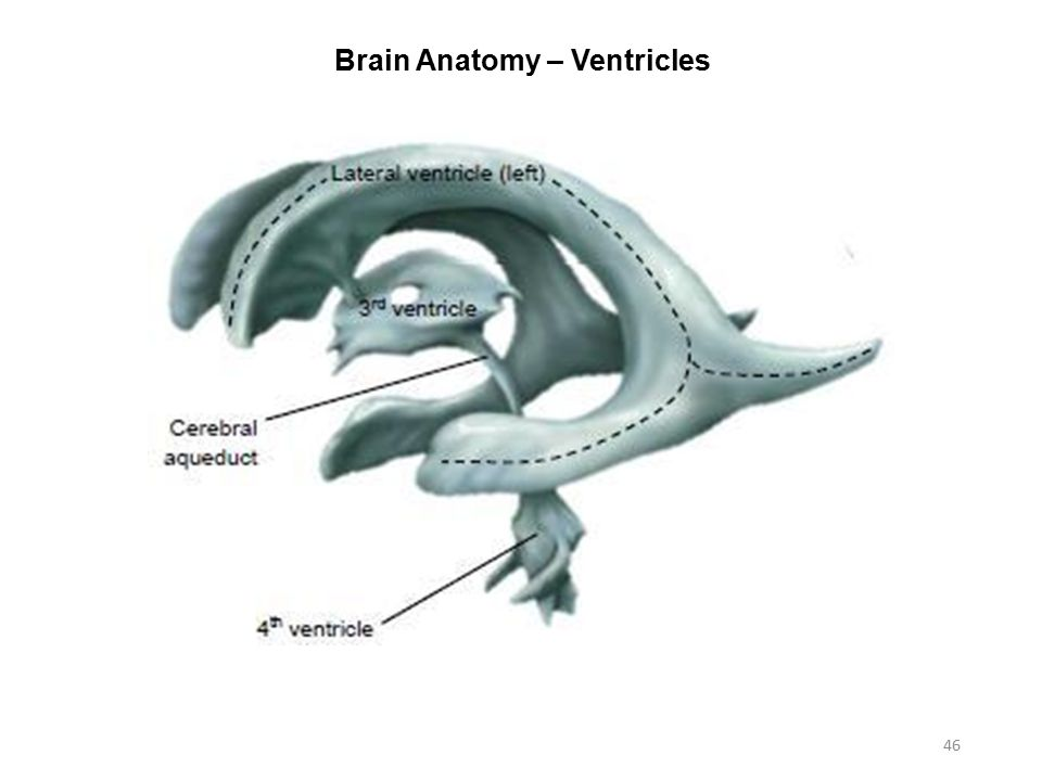 Lateral ventricle anatomy