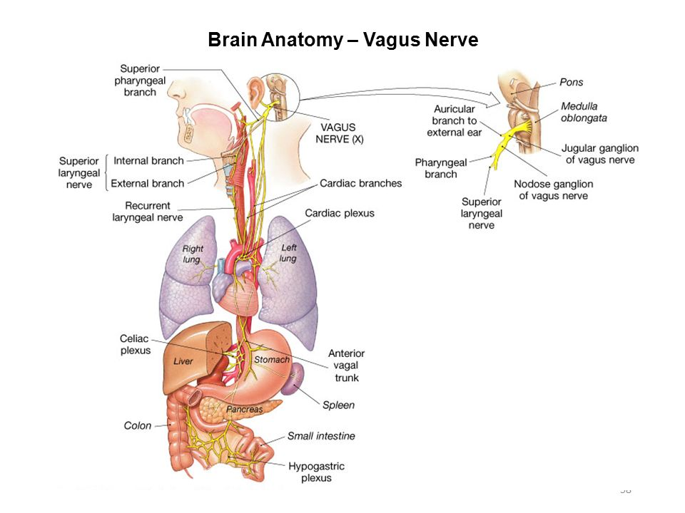 Vagus nerve anatomy 3000342 - follow4more.info