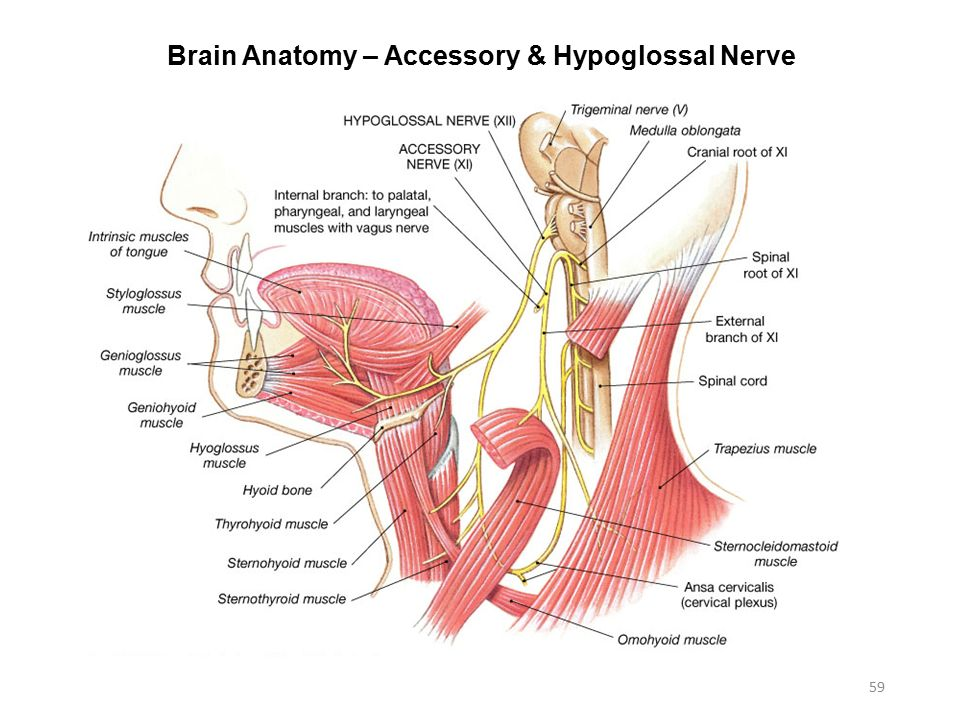 Vagus nerve anatomy