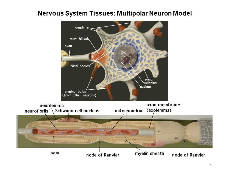 nervous system histology
