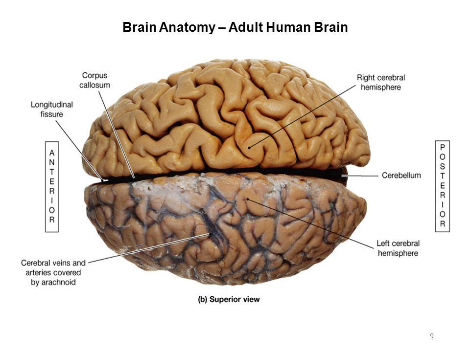 Brain anatomy online
