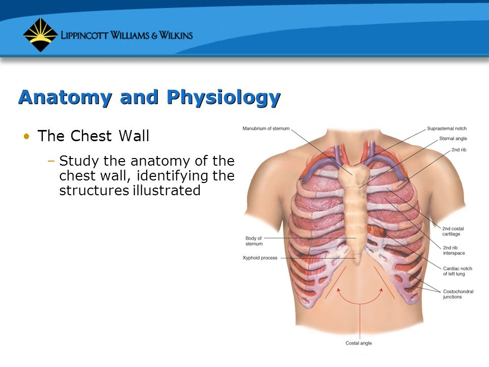 Chapter 7: The Thorax and Lungs - ppt video online download